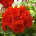 Red Geranium Close-up